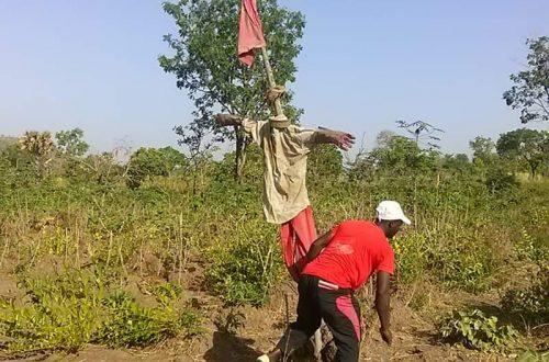 Article : Sotouboua/ Des masques pour protéger nos cultures champêtres